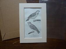 Gravure XIXè - BUFFON / PRETRE 1825 -oiseaux - le moineau friquet passe-partout