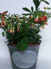 Seau de plantation Zinc Pot fleurs VINTAGE BAQUET DÉCO SHABBY FLORAL Cottage