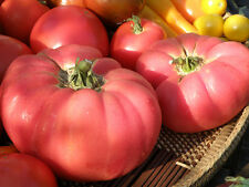 30 PINK BRANDYWINE TOMATO SEEDS 2017 ( $3.00 MAX SHIPPING! )
