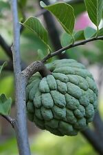 Annona squamosa - The Sugar Apple - 20 Fresh Seeds