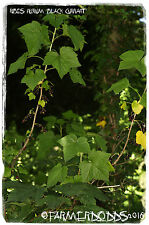 Ribes nigrum 'European Black Currant' [Ex. Co. Durham] 100+ SEEDS