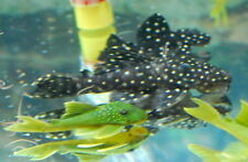 L200 Green Phantom Pleco - Baryancistrus demantoides (Avocado Plecostomus)