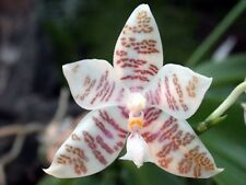 Rare orchid species Near bloom size - Phalaenopsis hieroglyphica