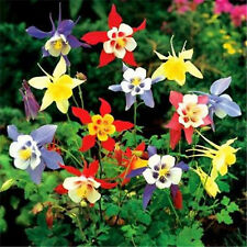 400 Mixed COLUMBINE Aquilegia  A superb domesticated wildflower for shady Garden