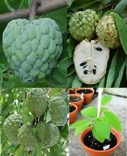 Annona Squamosa , or Suger Custard Apple Fruit 10+Seeds