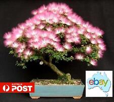 20 X ALBIZIA JULIBRISSIN - MIMOSA SILK BONSAI / TREE SEEDS