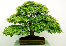 GREEN JAPANESE MAPLE - Acer Palmatum - 15 seeds - great for bonsai