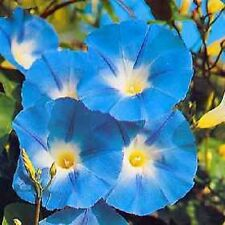 50 HEAVENLY BLUE MORNING GLORY Vine Imopea Tricolor Flower Seeds *Comb S/H