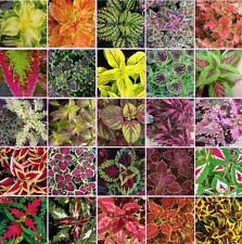 Coleus blumei Rainbow Mix 250 seeds * Beautiful Foliage * Eye catching *  #1A42#