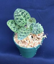 """MACODES PETOLA, THE DIAMOND OF THE JEWEL ORCHIDS, SHIPPED IN A 2 1/2"""" POT"""