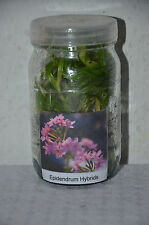 Epidendrum Hybride Orchid= TOTAL NEU HIER + mal was ANDERES =ABSOLUTER HINGUCKER