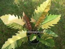 "RARE PHILODENDRON ""BIPINNATUM Varigated"" Very Beautiful Variegated Limited RARE1"