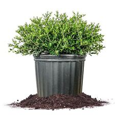 Schilling Holly Size: 3 Gallon