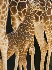 BABY GIRAFFE ANIMALS FAMILY PHOTO ART PRINT POSTER PICTURE BMP1997A