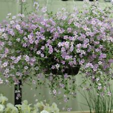 BACOPA BLUTOPIA 10 SEEDS LOVELY LITTLE BLOSSOMS LOOK STUNNING IN HANGING BASKETS