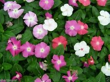50 VINCA ROSEA MIXED (Flower Seeds)