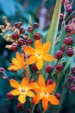 5 bulbs/corms  Crocosmia 'Star of the East' Humming birds favorite!