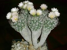 Cactus Seeds (Turbinicarpus pseudomacrochele) Cactus Lovers will Love our Shop