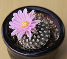Pediocactus knowltonii exotic rare globular cactus succulent cacti seed 10 SEEDS