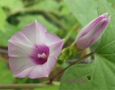ipomoea Triloba - Little Bell Morning Glory - 12 seeds - Pink Littlebell Aiea