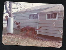 Old Vintage Photograph Gorgeous Irish Setter Puppy Dog Playing in Backyard
