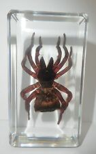 Rare Insect Specimen - Torch Spider (Cyclocosmia ricketti) in Clear Paperweight