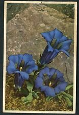 C1950's View of 'Stemless Gentian' Flower