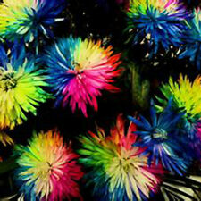 100PCS Fashion Rainbow Chrysanthemum Flower Seeds,rare Special unusual Colorful