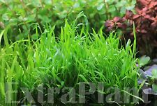 Micro Sword Lilaeopsis Novaezelandiae Bunch Live Aquarium Plants BUY2GET1FREE*