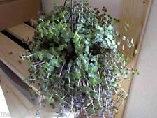 plante l'intérieur,   10 tiges Callisie