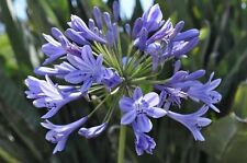 25+ Blue African Lily Agapanthus Flower Seeds / Perennial