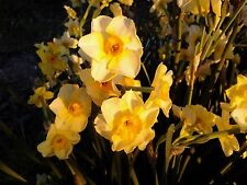 50 GOLDEN DAWN Daffodil Bulbs Small size LANDSCAPING SPECIAL! Tazetta narcissus