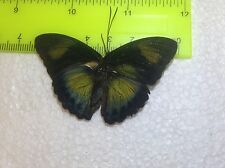 SALE TOG15 A+/ A  Euphaedra  Forester Papilio