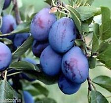 Vancouver Island Damson Plum Tree Plant -5 Seeds- Grow Your Own Purple Plums