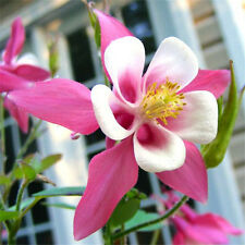100 Pink White Columbine with a Rich Fragrance flower seeds Grow in part shade