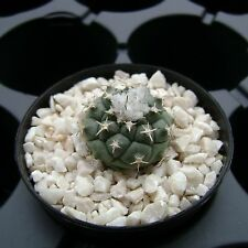 Turbinicarpus lophophoroides MMR 140, Las Tablas, OWN ROOTS Rare Cactus