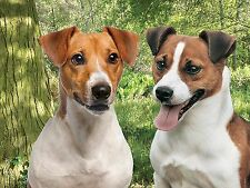 3D Picture Dogs Pair of Jack Russell Terriers H&S Size 39 x 29 cm approx New