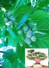 Maulbeerbaum bianco semi ornamenti decorare per la primavera il giardino la