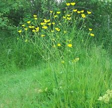 Wildflower Seeds - Meadow Buttercup - 1500 Seed