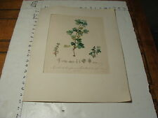 ORIGINAL 1800'S French Botanical Engraving  l'Imprimerie de Langlois GOOSEBERRY
