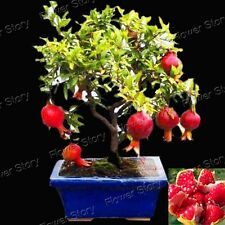 20 Bonsai Pomegranate Seeds Home Plant Delicious Fruit Seeds Free Shipping 1