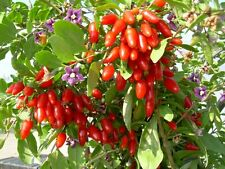 Goji Berry / Chinese Wolfberry - Lycium Chinense - 50 seeds - Healthy Berries