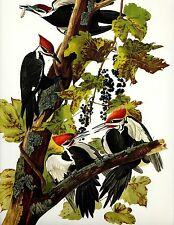 """Audubon""""s Woodpeckers Ivory Billed   Lot of 4  Classic art at a great price !"""