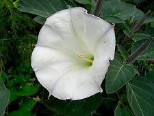 DATURA METEL - ANGEL'S TRUMPET, 50 HIGH QUALITY SEEDS