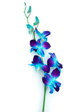 Blue Orchids 70 Stems of Fresh Cut Flowers for Wedding or Event Decoration