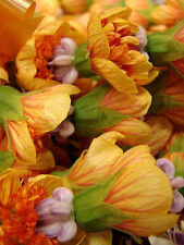 Flower Seeds :: FLOWERING MAPLE TREE SHRUB Chinese Bell Flower 10 Seeds