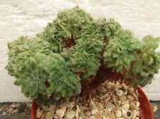 AEONIUM TABULAEFORME CRISTATE in 10cm pot, lovely, healthy succulent
