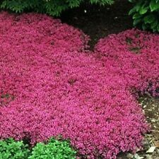 50+  Rose Magic Carpet Flower Seeds / Thymus / Perennial