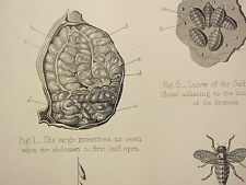 1880 HORSE FARRIERY PRINT ~ ANATOMY THE ABDOMINAL VISCERA KIDNEYS GADFLY LARVAE