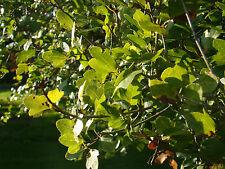 CRETAN MAPLE Acer sempervirens SEMI EVERGREEN small tree with leathery leaves